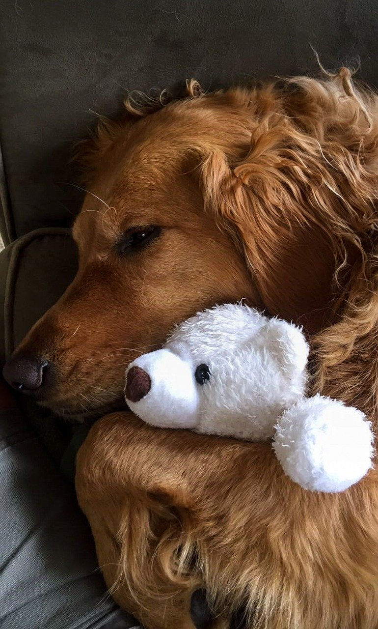 Golden Retriever cuddling with a stuffed white bear