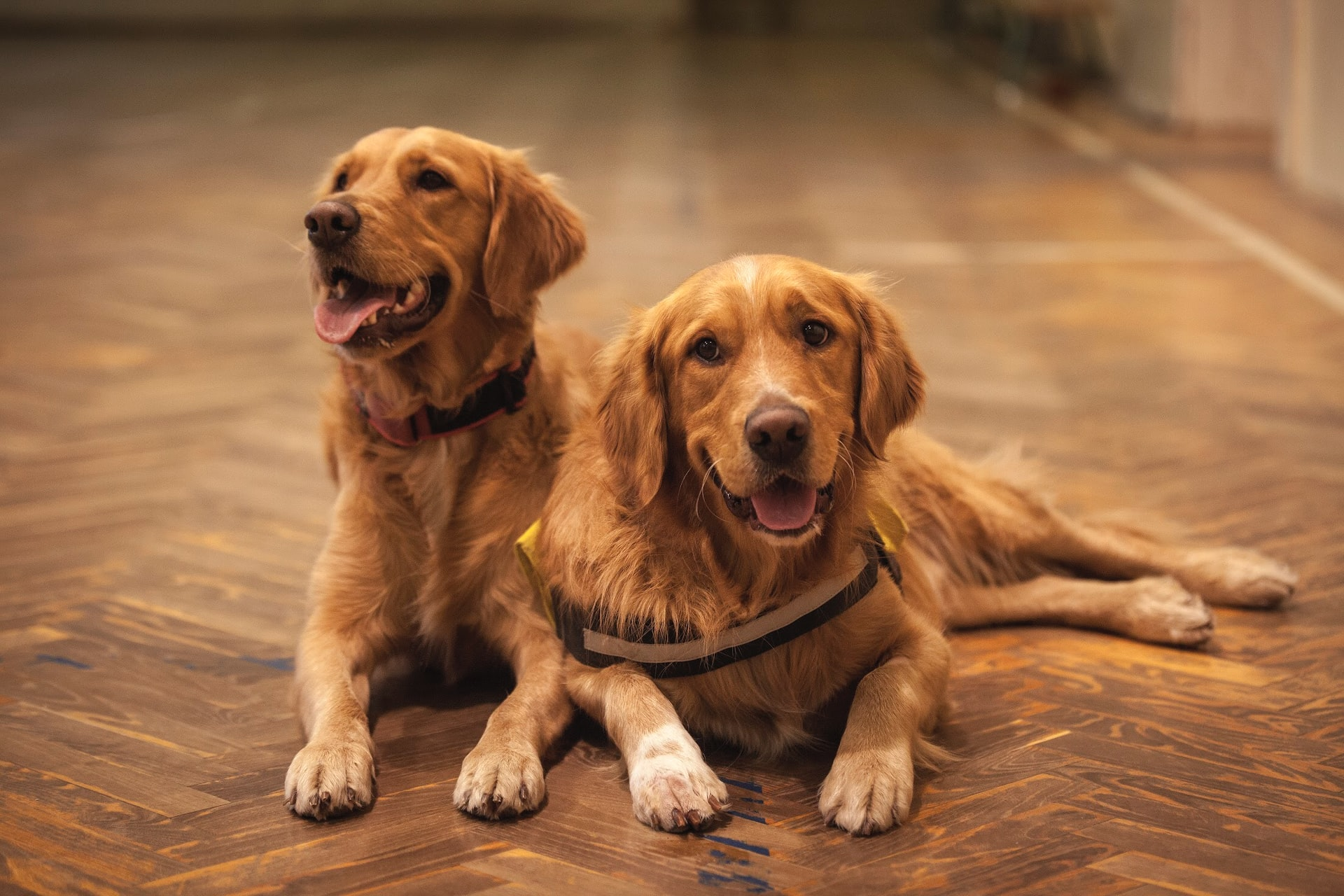 Two adult Golden Retriever dogs laying together on wooden floor.